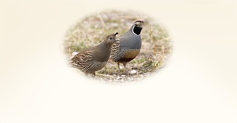 Male and Female quail walking together
